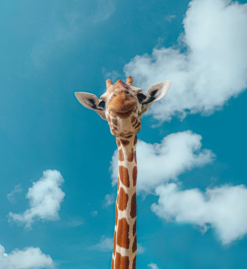 giraffe with sky background