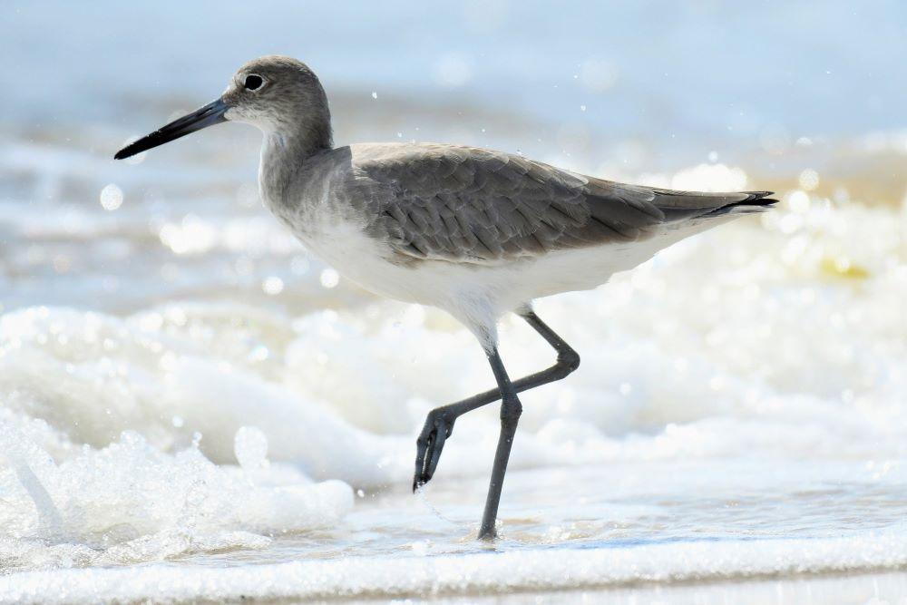 bird walking on shore