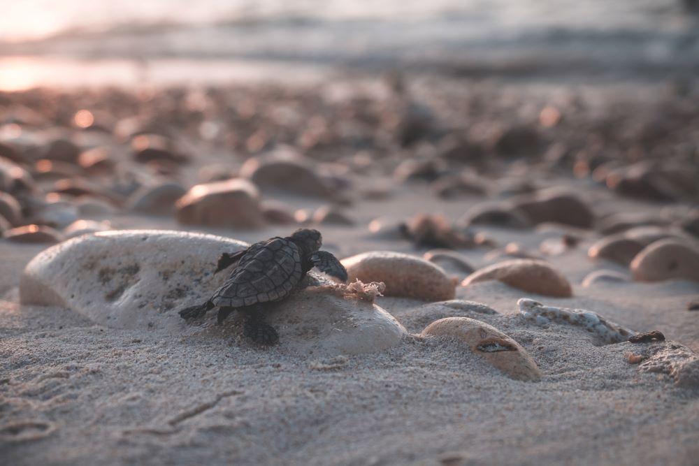 baby turtle running to ocean