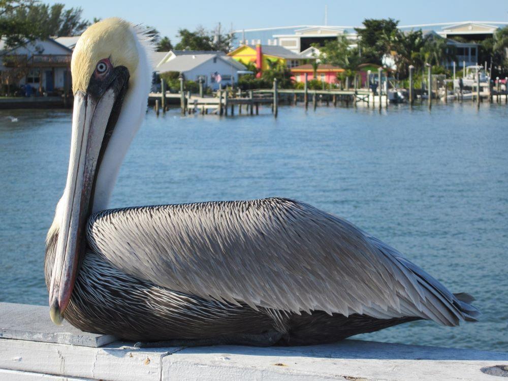 Pelican resting on a rail